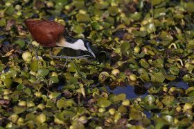 African Jacana / Tala Game Reserve, South Africa / June 2021
