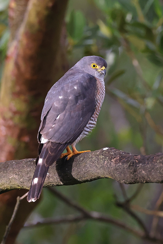 Little Sparrowhawk / Umlalazi Nature Reserve, KZN, South Africa / 30 May 2021