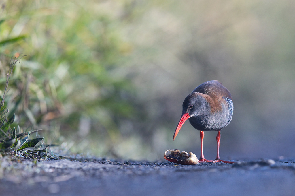 African Rail / Marievale Bird Sanctuary, Nigel, South Africa / April 2019