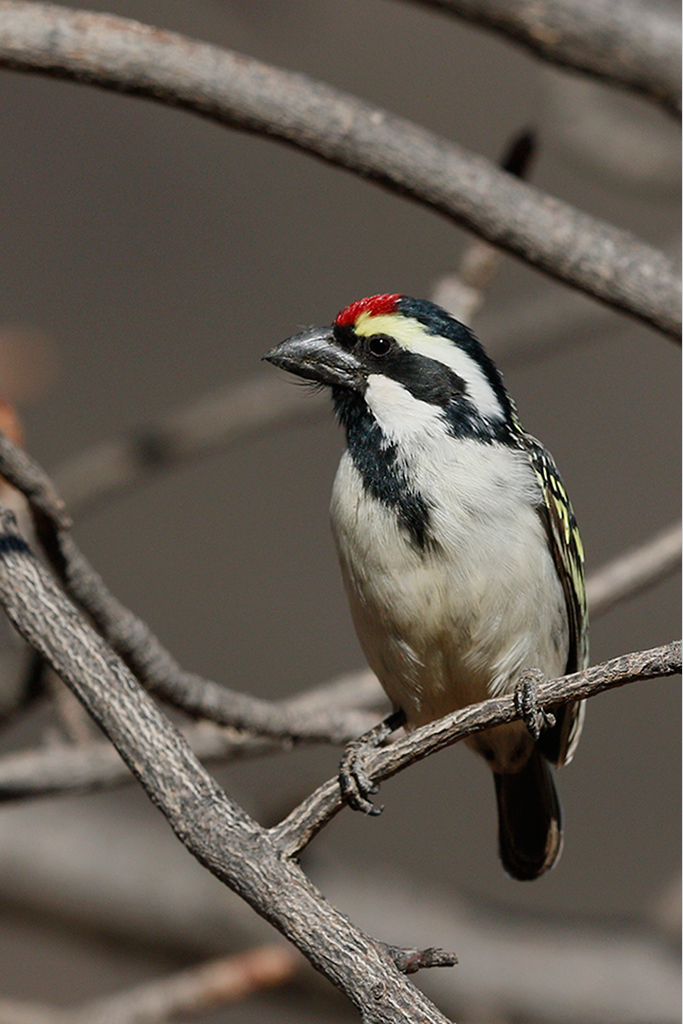 Acacia Pied Barbet / Tswalu Game Reserve, South Africa / 13 June 2015