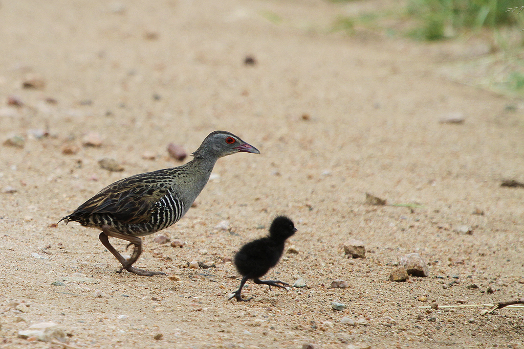 African Crake / Southern Kruger National Park, South Africa / 03 March 2012