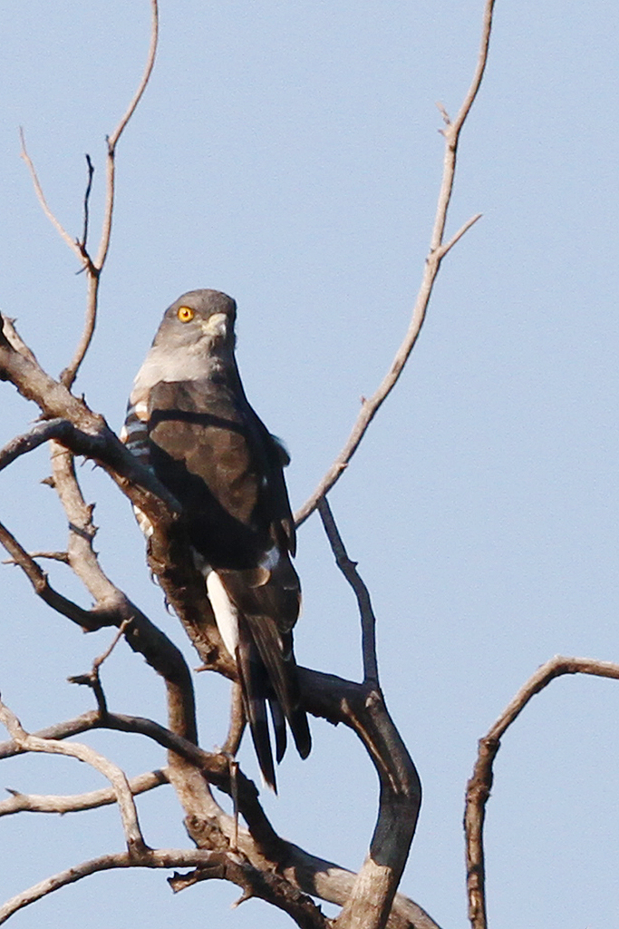 African Cuckoo Hawk / Rinkhals Street, Seringveld Conservancy, South Africa / 19 April 2014