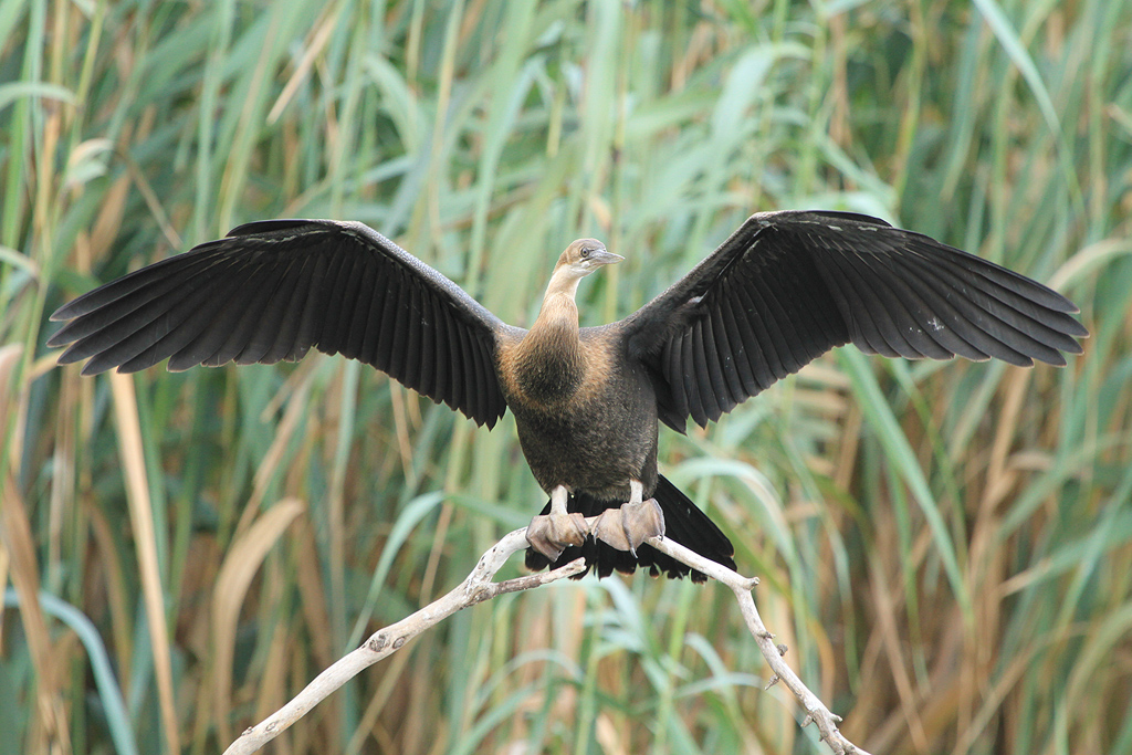 African Darter / Rietvlei Nature Reserve, South-Africa / 01 March 2013