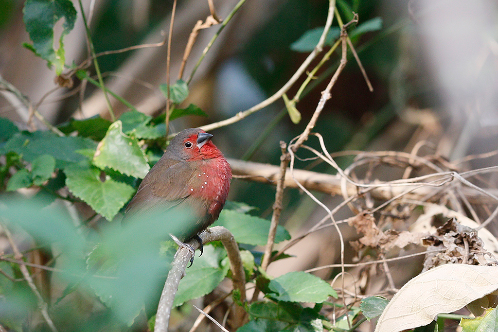 African Firefinch / Ocean View, South Coast KZN, South Africa / 16 August 2015