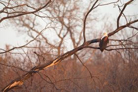 African Fish Eagle / Dinokeng Nature Reserve, South Africa / August 2020