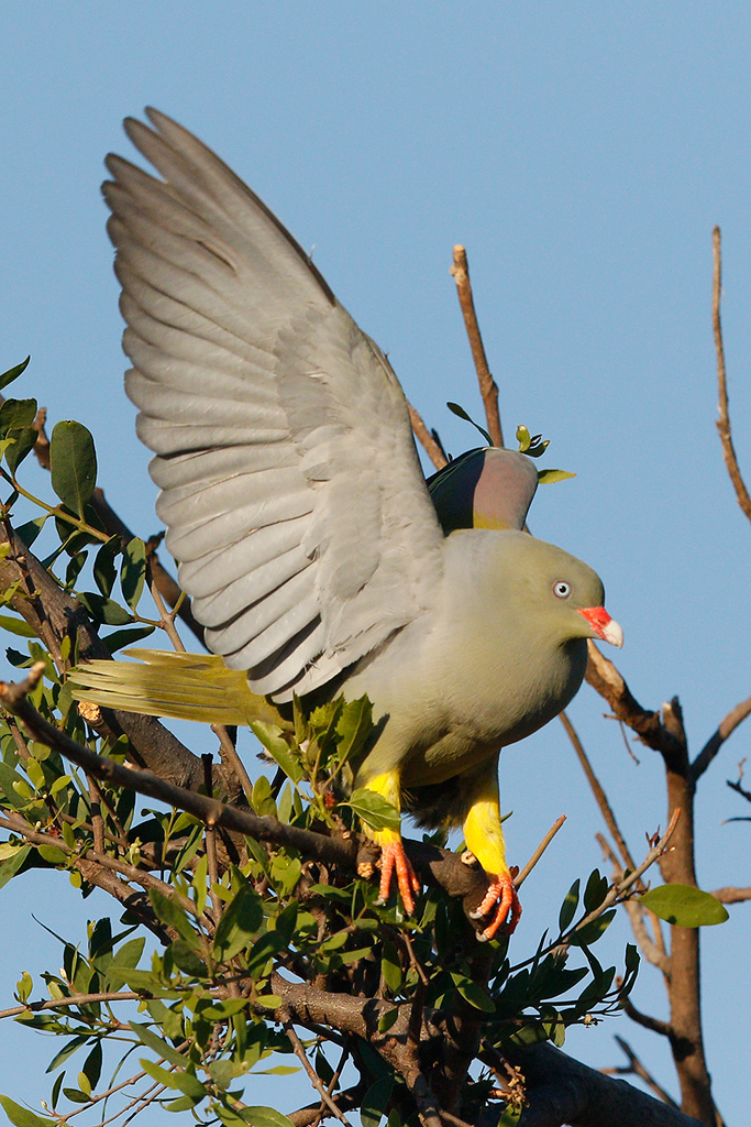 African Green Pigeon / Kololo Game Reserve, Vaalwater, South Africa 26 September 2015