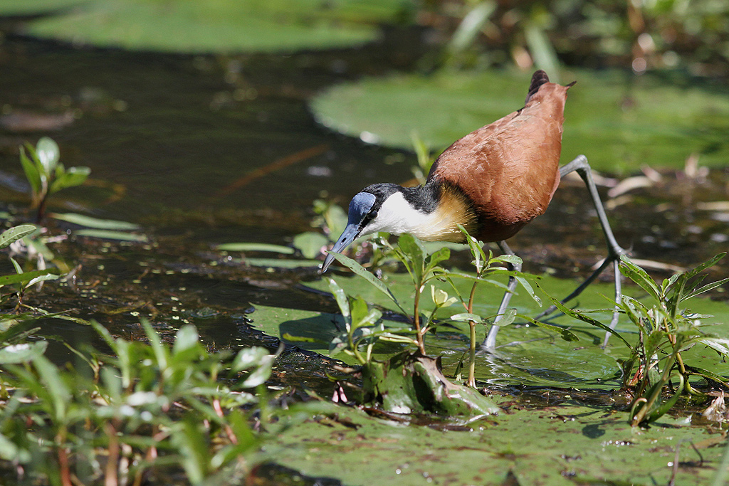 African Jacana / Bonamanzi Game Reserve, KwaZulu Natal, South-Africa / 23 March 2014