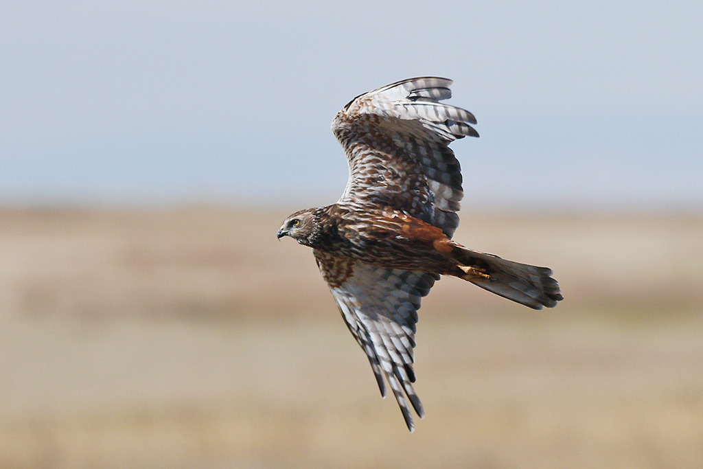 African Marsh Harrier / Devon Farmlands, South Africa / 02 May 2015
