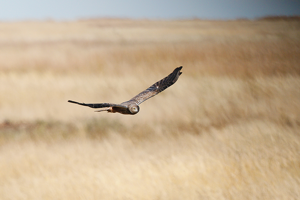 African Marsh Harrier (adult) / Devon Farmlands, South Africa / 02 May 2015