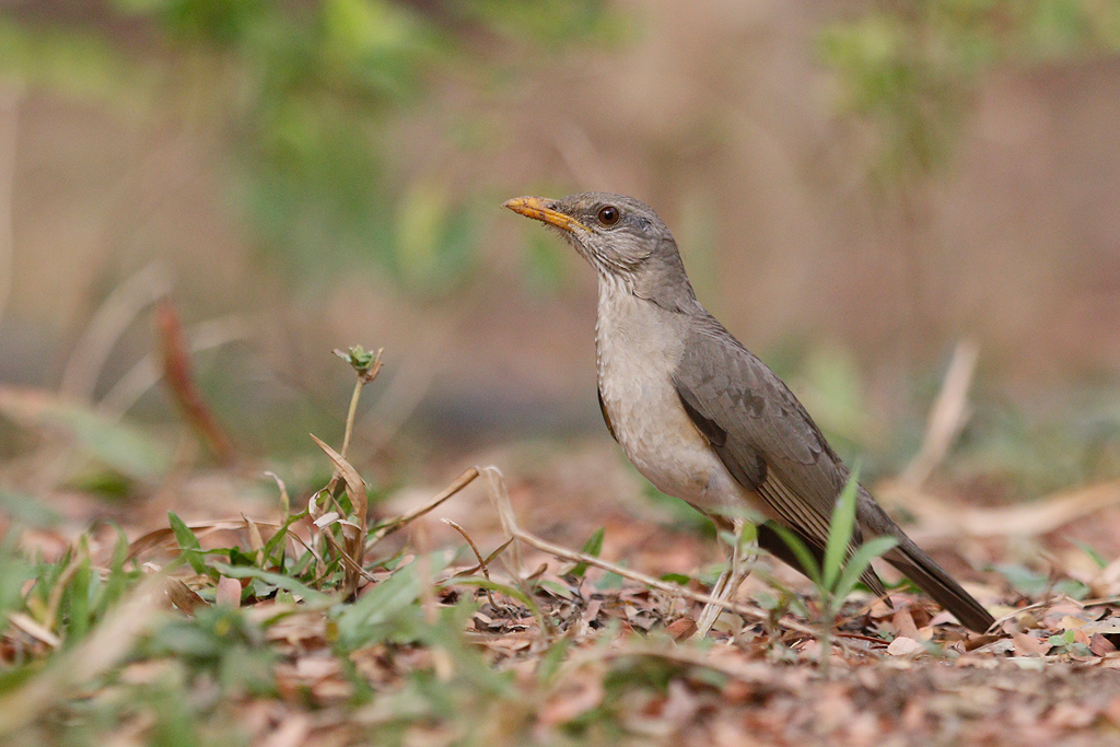 African Thrush / Near Benoue National Park, Cameroon / January 2017