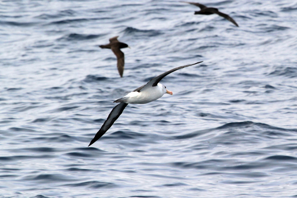 Albatross Blackbrowed / Cape Town Pelagic, South Africa / 03 September 2011
