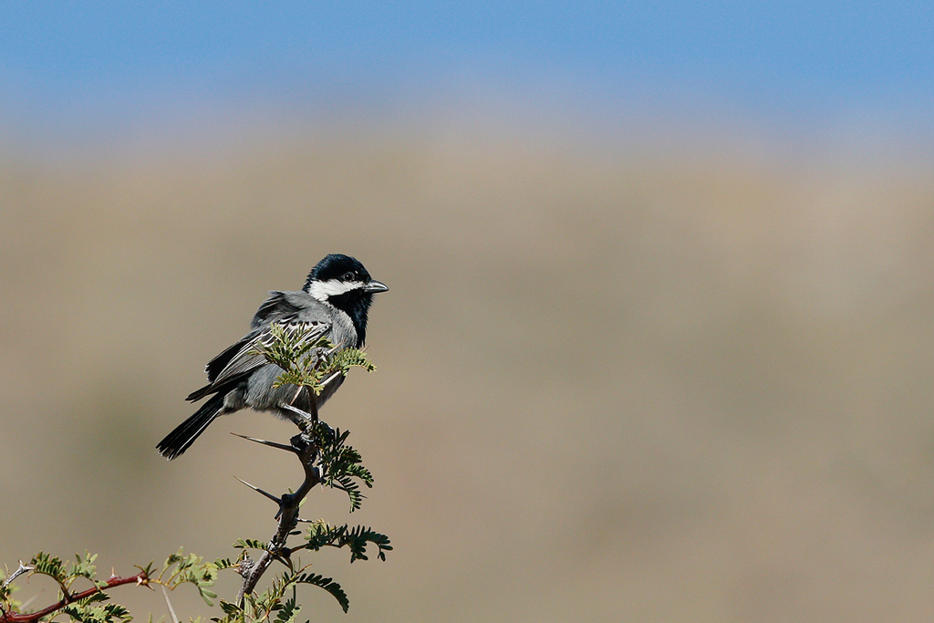 Ashy-Tit—Tswalu-Game-Reserve,-South-Africa—15-June-2015-17