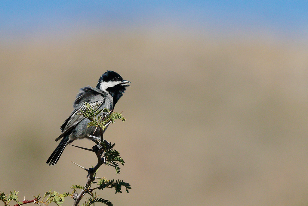 Ashy Tit / Tswalu Kalahari Reserve, South Africa / 13 June 2015