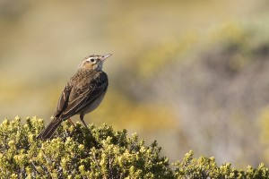 Special Birds / Mountain Pipit / Sani Pass, Lesotho