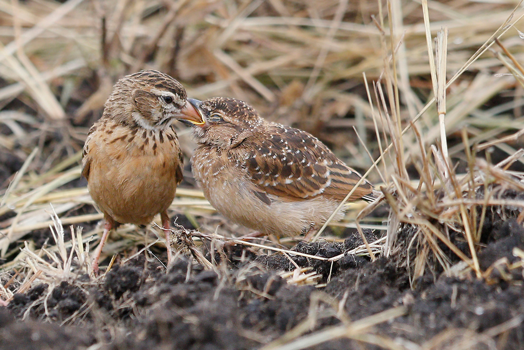 Pink-billed Lark