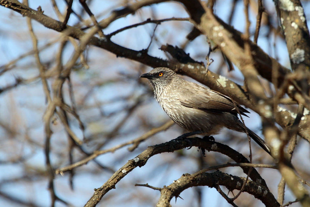 Arrow-marked Babbler (Jardineii) / Mabusa National Park, South Africa / 19 August 2011