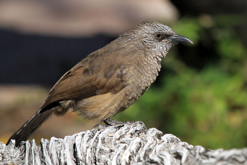 Black-faced Babbler – juvenile / Kunene River Lodge, Northern Namibia / 23 July 2012