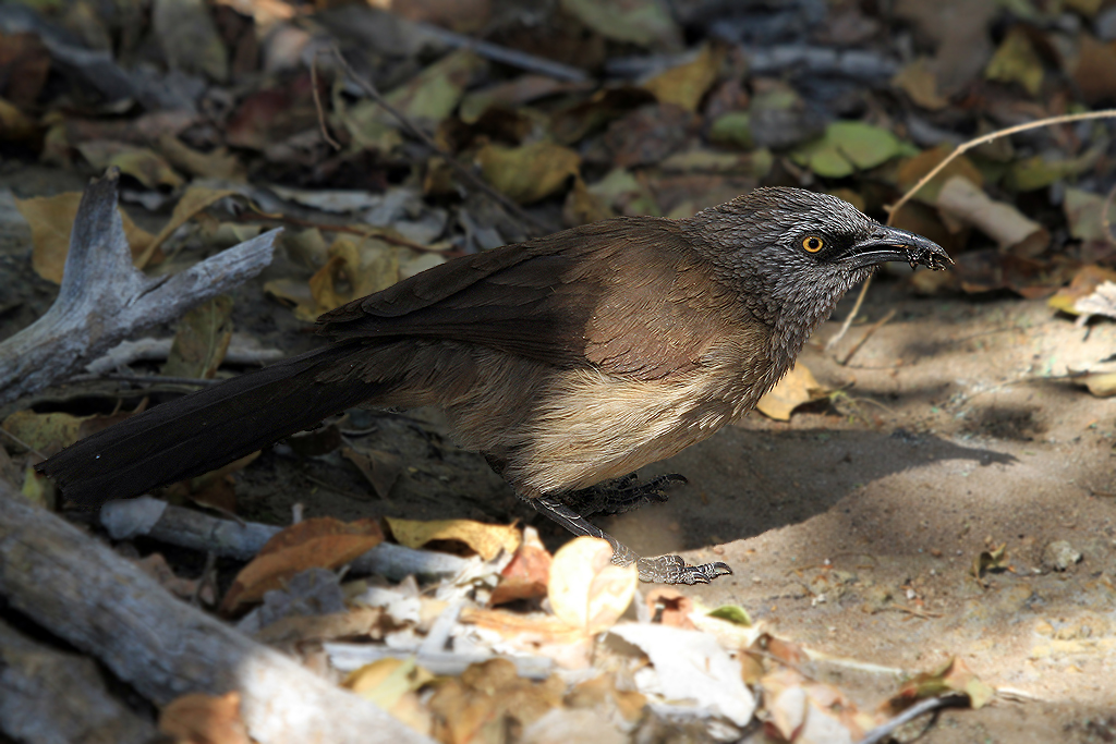Black-faced Babbler – adult / Kunene River Lodge, Northern Namibia / 23 July 2013