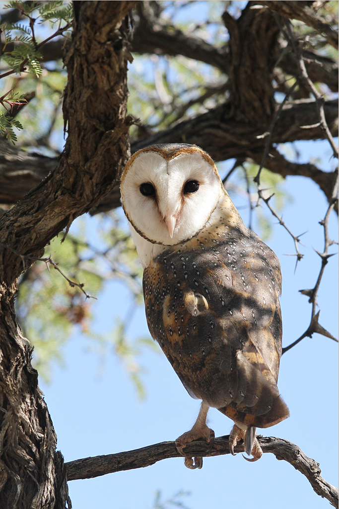 Barn Owl / Kgalagadi Transfrontier Park, South Africa / 10 June 2014