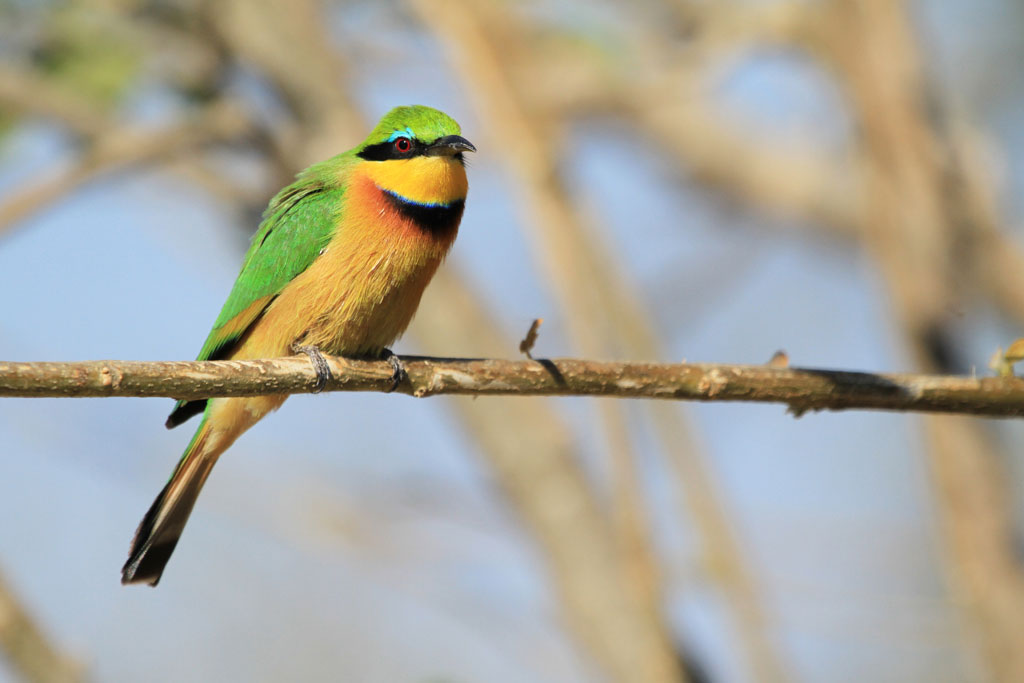 Little Bee-eater (Argutus) / Mahango Game Reserve, Northern Namibia / 22 July 2012