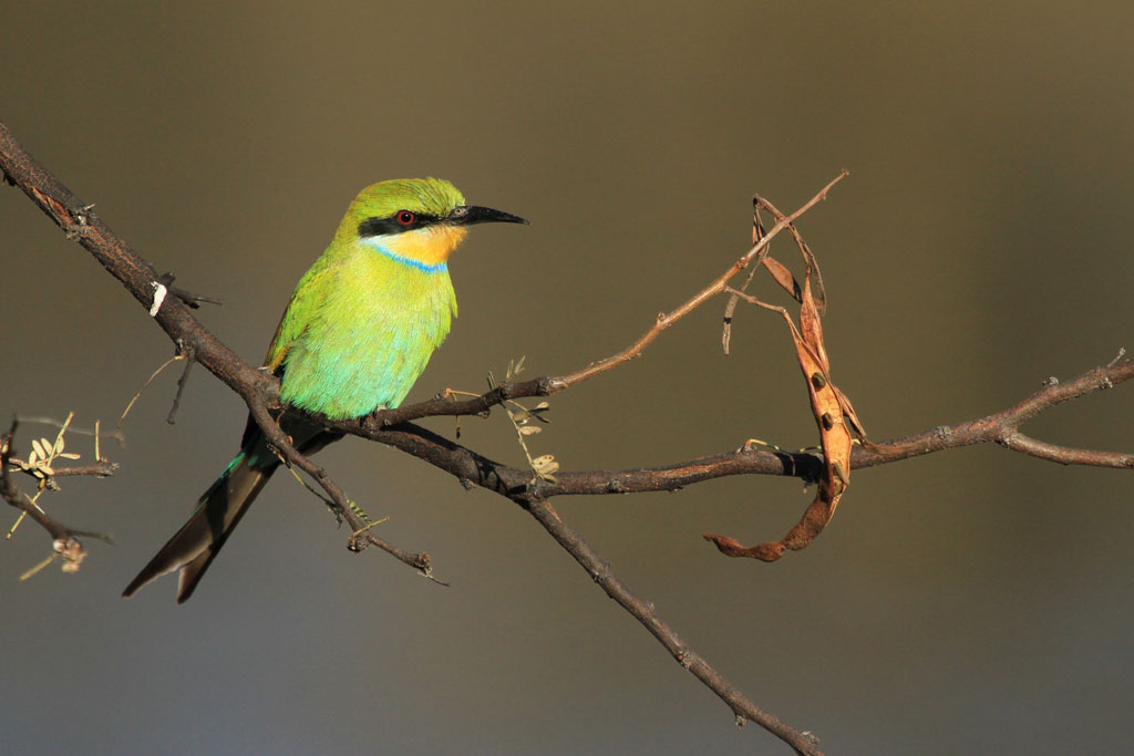 Swallow-tailed Bee-eater (Hirundineus) / Daan Viljoen Game Reserve, Central Namibia / 29 July 2012