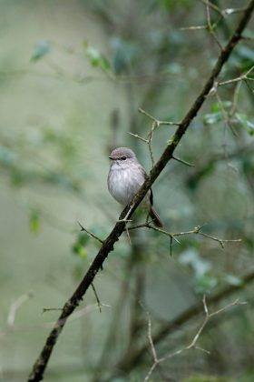 African Dusky Flycatcher / Benvie Farm, Karkloof, South Africa / September 2019