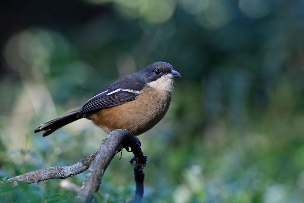 Southern Boubou / Benvie Gardens, Karkloof, South Africa / September 2019