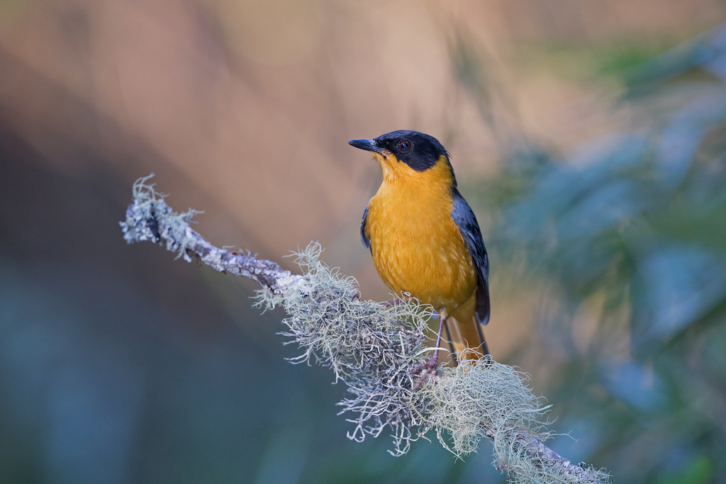 Chorister Robin-chat / Benvie Farm, Karkloof, South Africa / September 2019