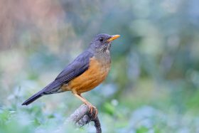Olive Thrush / Benvie Gardens, Karkloof, South Africa, South Africa / June 2019
