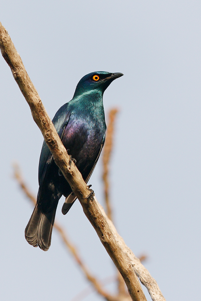 Black-bellied Starling / Ocean View, South Coast KZN, South Africa / 16 August 2015