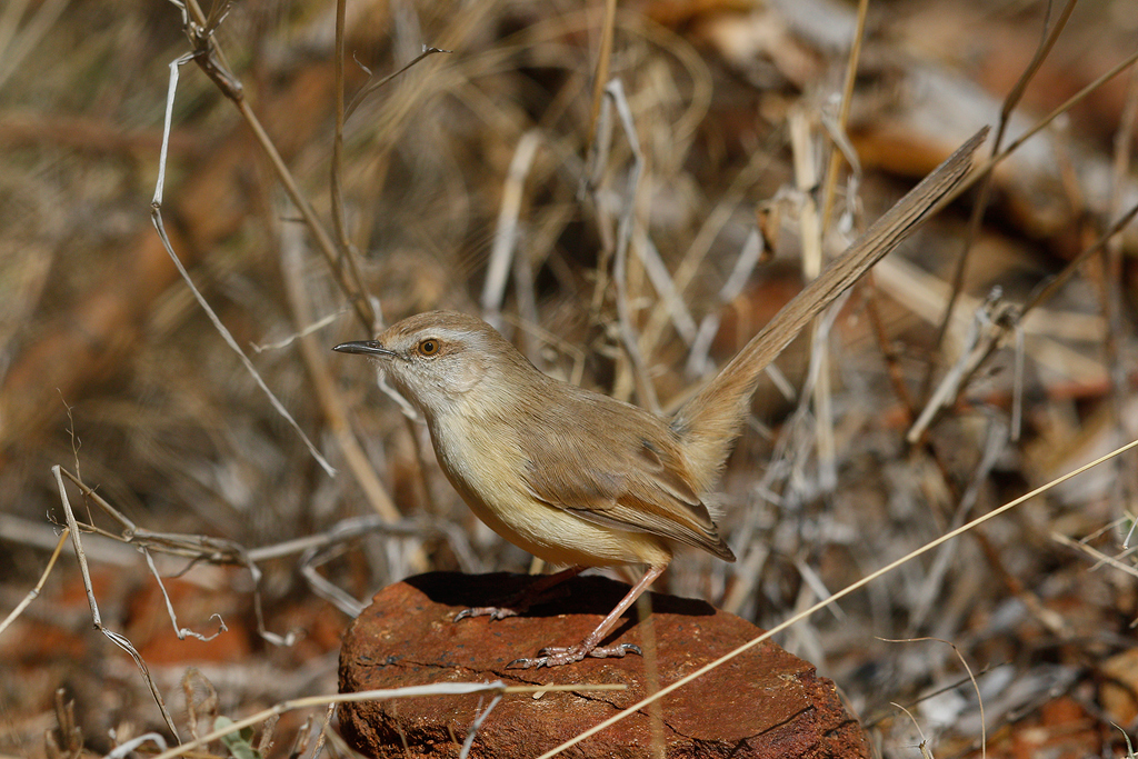 Black-chested Prinia / Tswalu Kalahari Reserve, South Africa / 14 June 2015