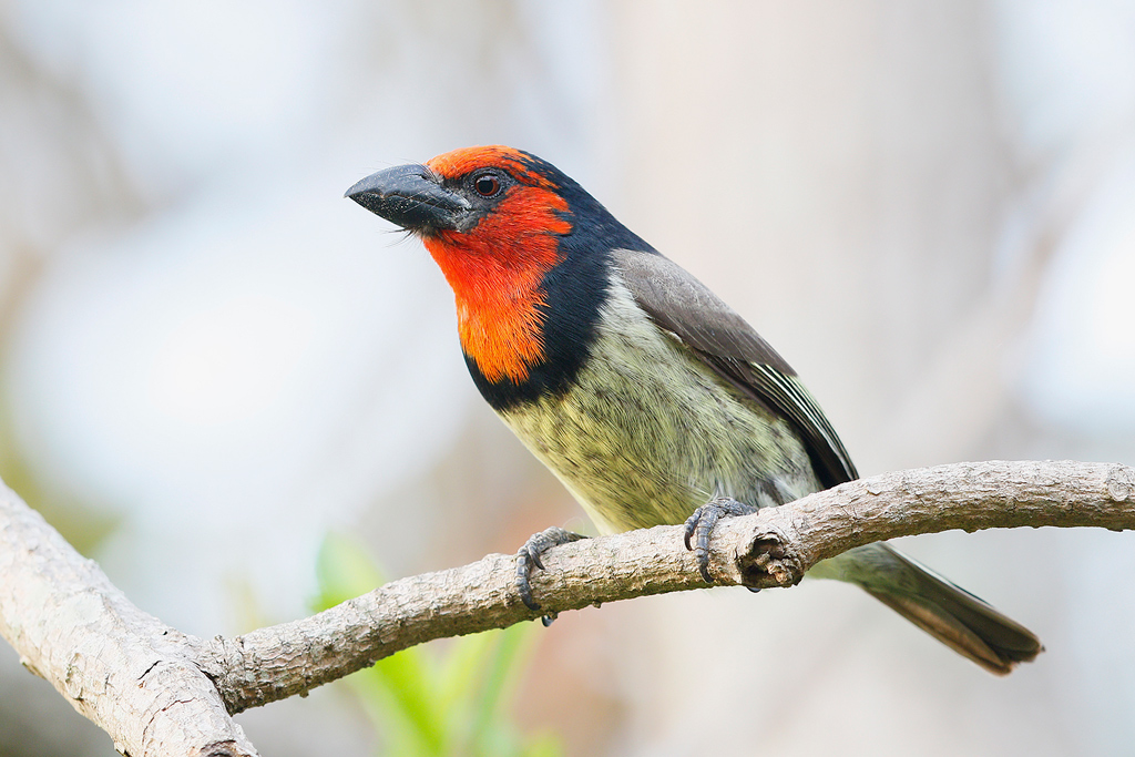 Black-collared Barbet / Ocean View, South Coast KZN, South Africa / 16 August 2015