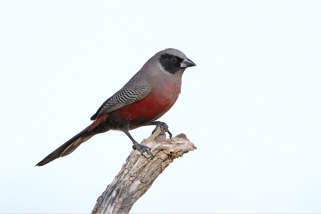 Black-faced Waxbill / Kgalagadi Transfrontier Park, South Africa / 11 June 2014