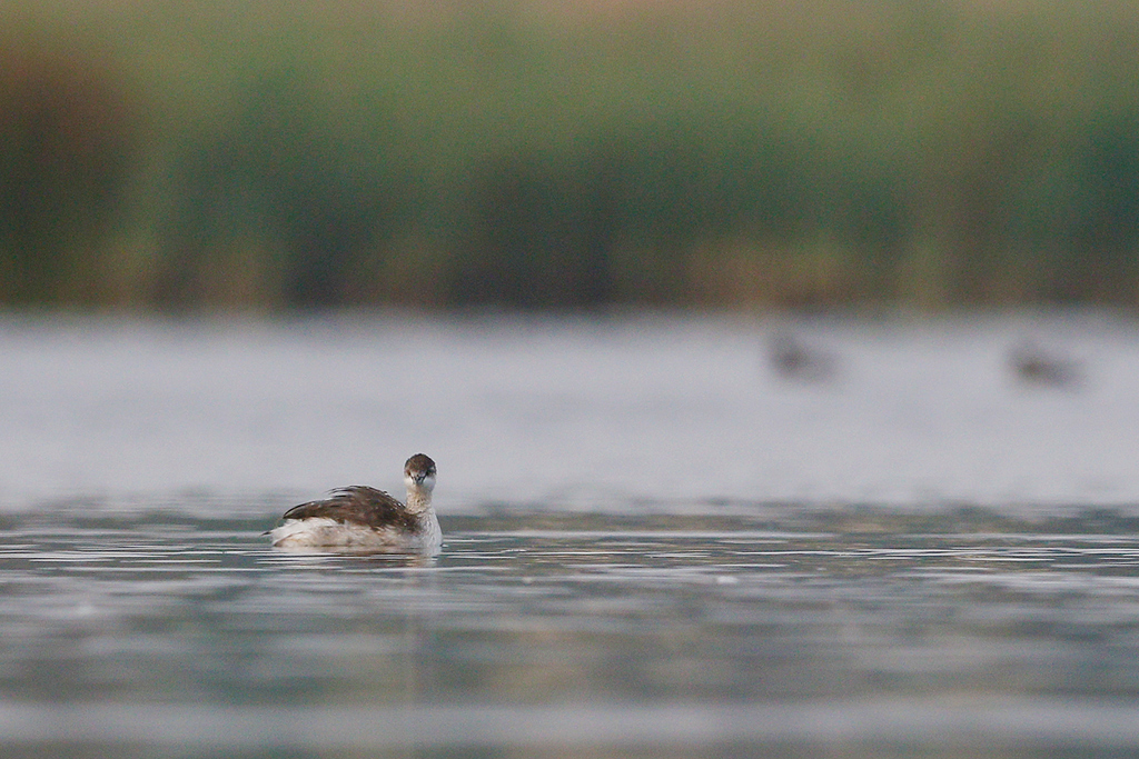 Black-necked Grebe / Bullfrog Pan, Benoni, South Africa / 28 February 2015