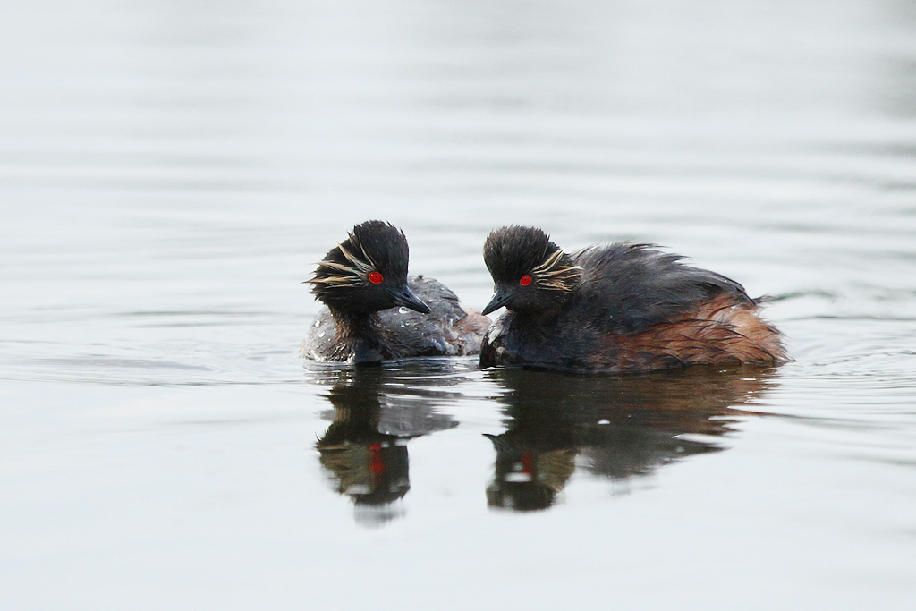 Black-necked Grebe / Bullfrog Pan, Benoni, South Africa / 01 March 2014
