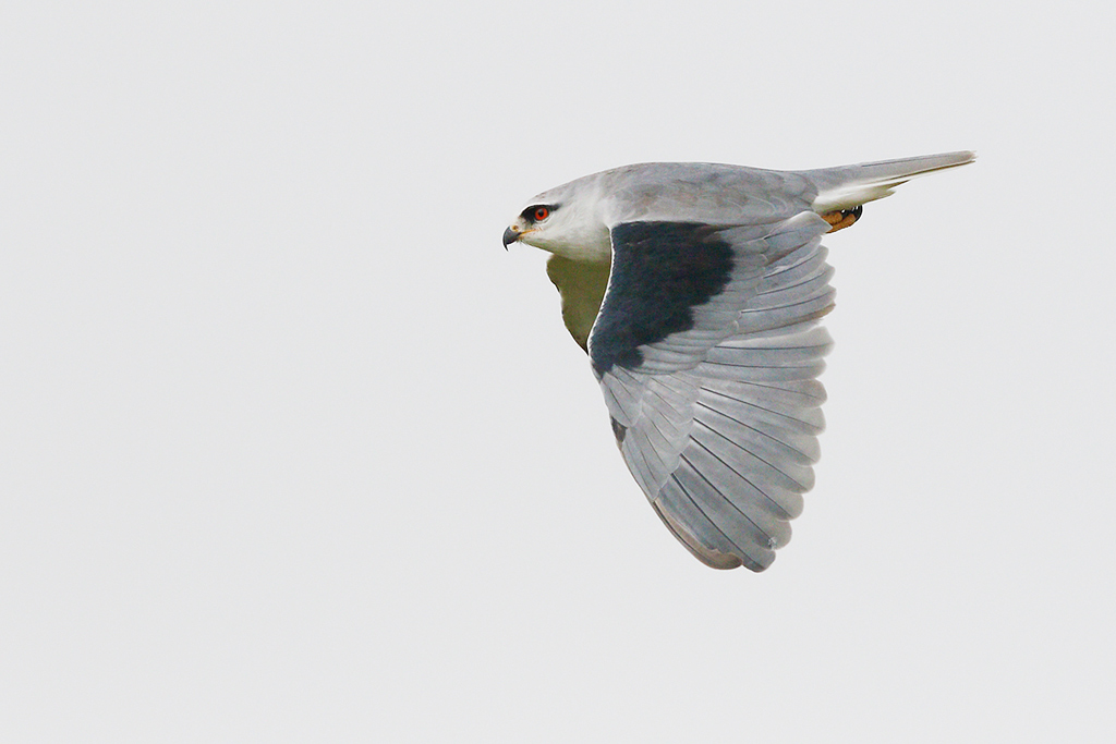 Black-shouldered Kite / Devon Roadside Routes, South Africa / 15 February 2015