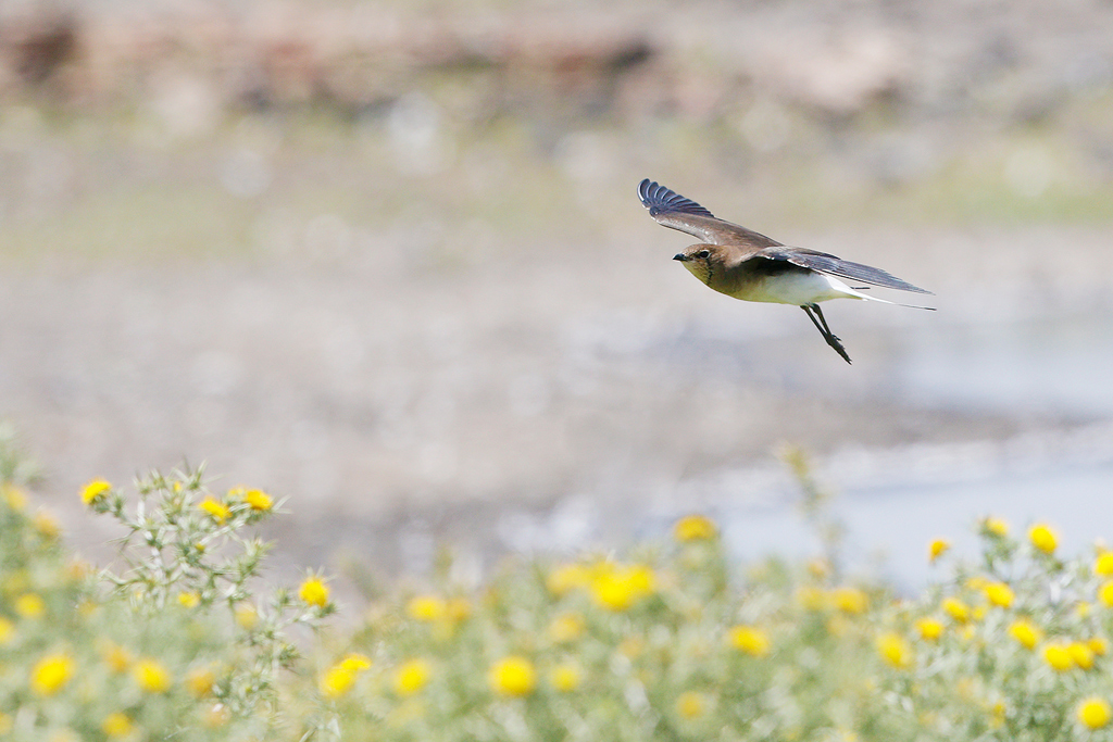Black-winged Pratincole / Devon Roadside Routes, South Africa / 15 February 2015