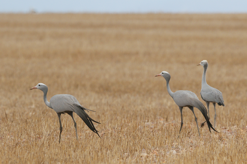 Blue Crane / Agulhas Plains, Western Cape, South-Africa / 29 December 2014