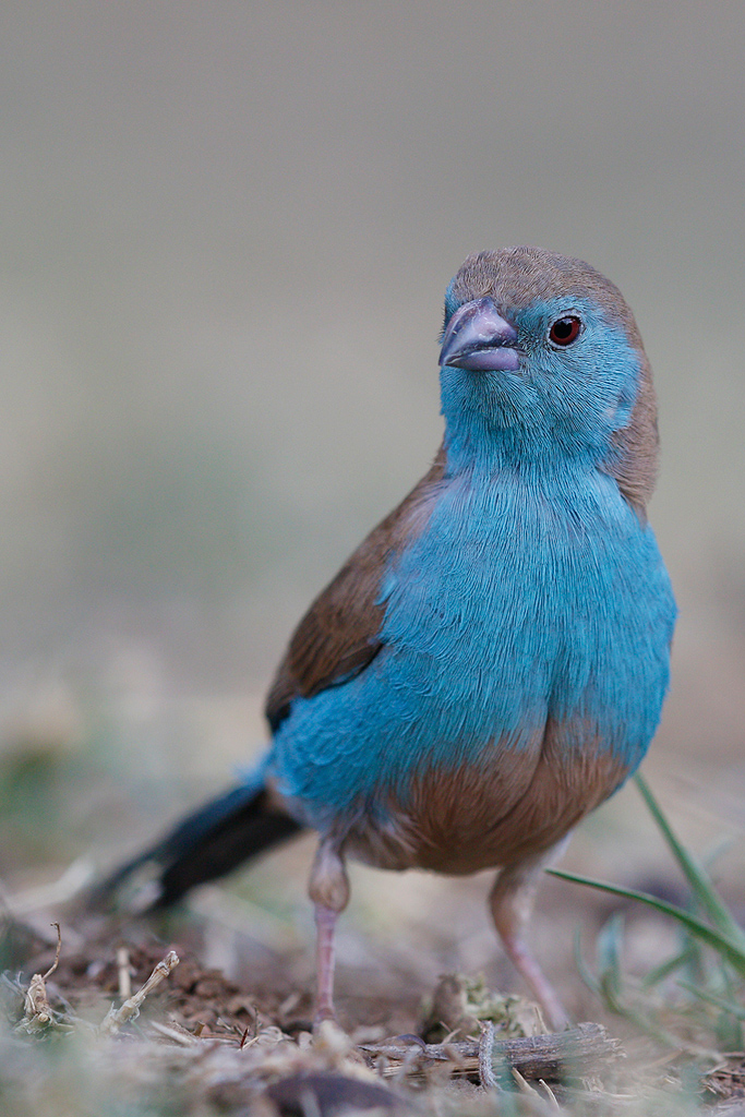 Blue Waxbill / Kololo Game Reserve, Vaalwater, South Africa / 26 September 2015