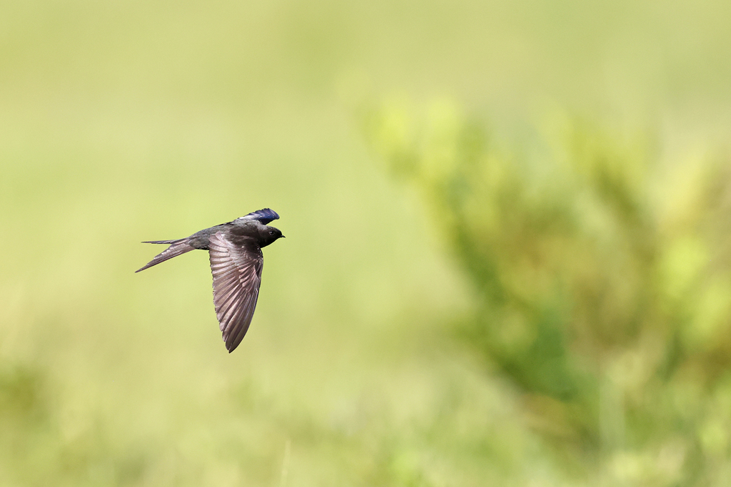 Black Saw-wing / Roselands Nature Reserve, Richmond, South Africa / January 2021