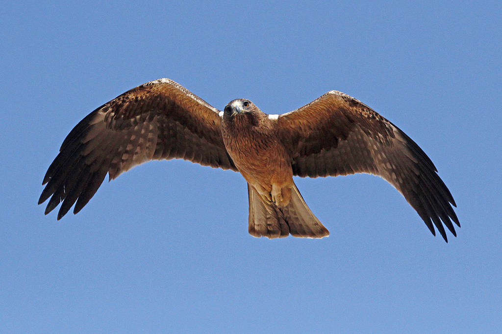 Booted Eagle / Kgalagadi Transfrontier Park, South Africa / 12 June 2014
