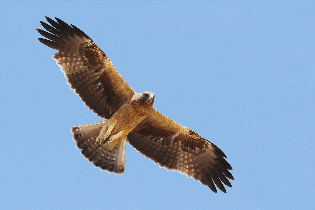 Booted Eagle / Kgalagadi Transfrontier Park, South Africa / 12 June 2014 (Edited – added canvas)