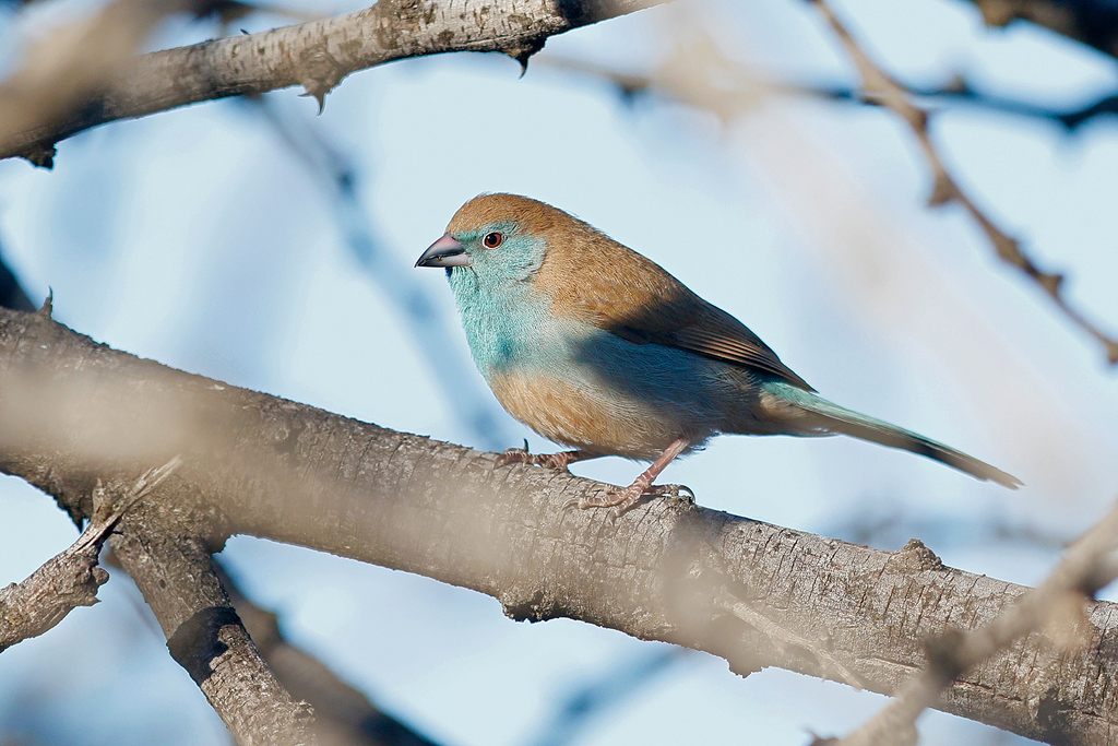 Blue Waxbill / Borakalalo National Park, South Africa / August 2016
