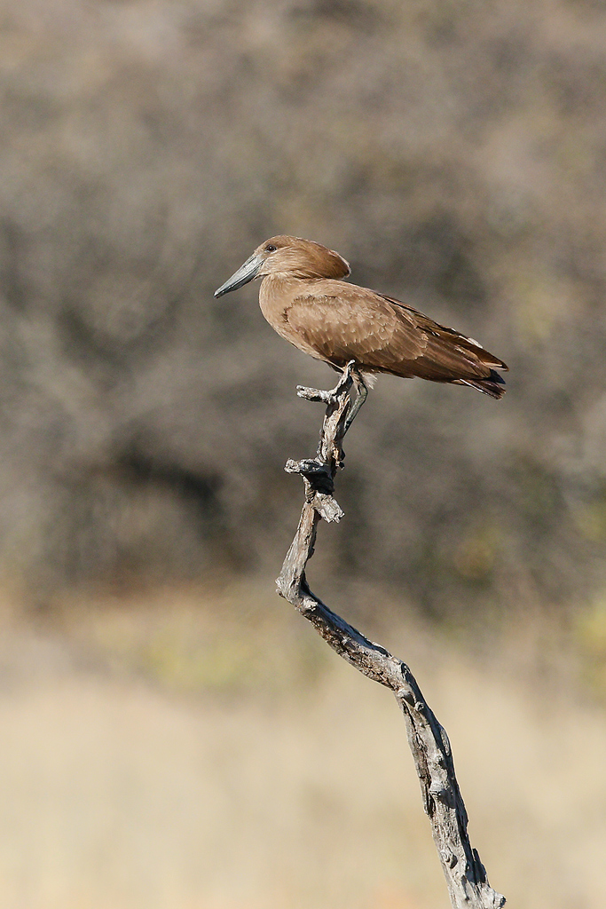 Hamerkop / Borakalalo National Park, South Africa / 16 July 2016