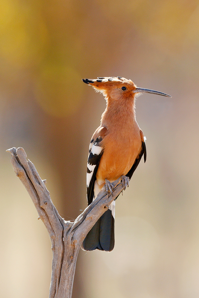 African Hoopoe / Borakalalo National Park, South Africa / 16 July 2016
