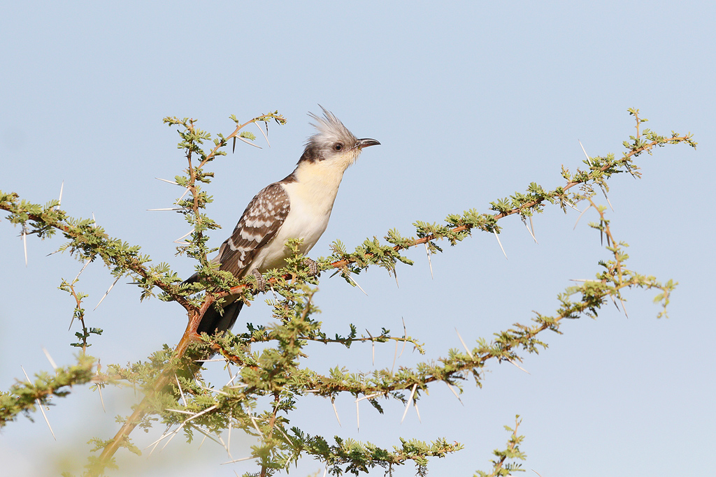 Great Spotted Cuckoo / Kgomo Kgomo, North West Province, South Africa / 04 December 2016