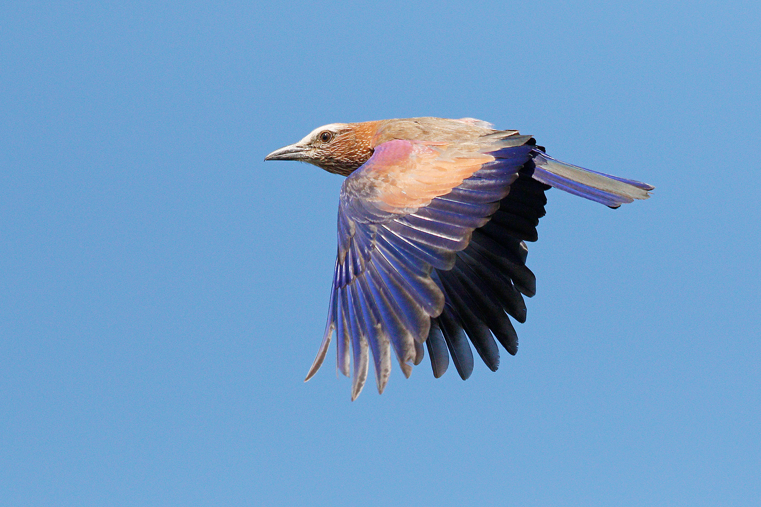 Purple Roller / Borakalalo National Park, North West Province, South Africa / August 2017