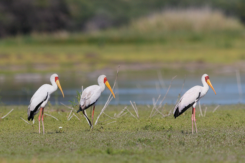 Yellow-billed Stork / Borakalalo National Park, North West Province, South Africa / August 2016