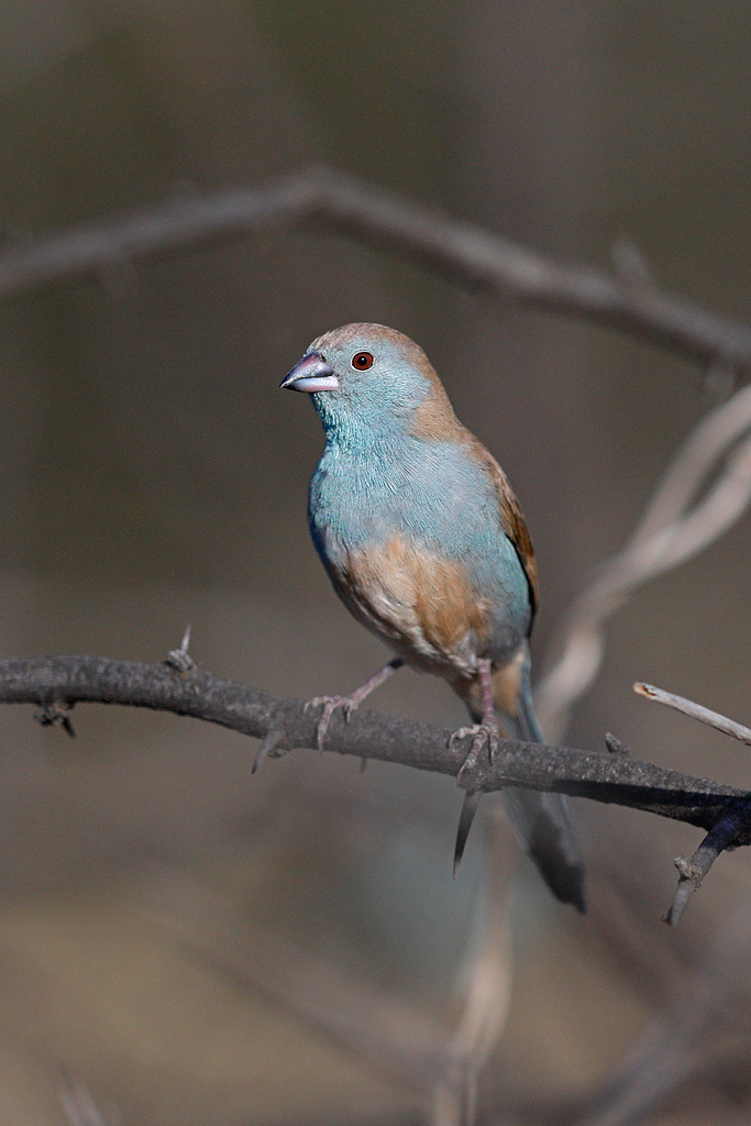 Blue Waxbill / Borakalalo National Park, South Africa