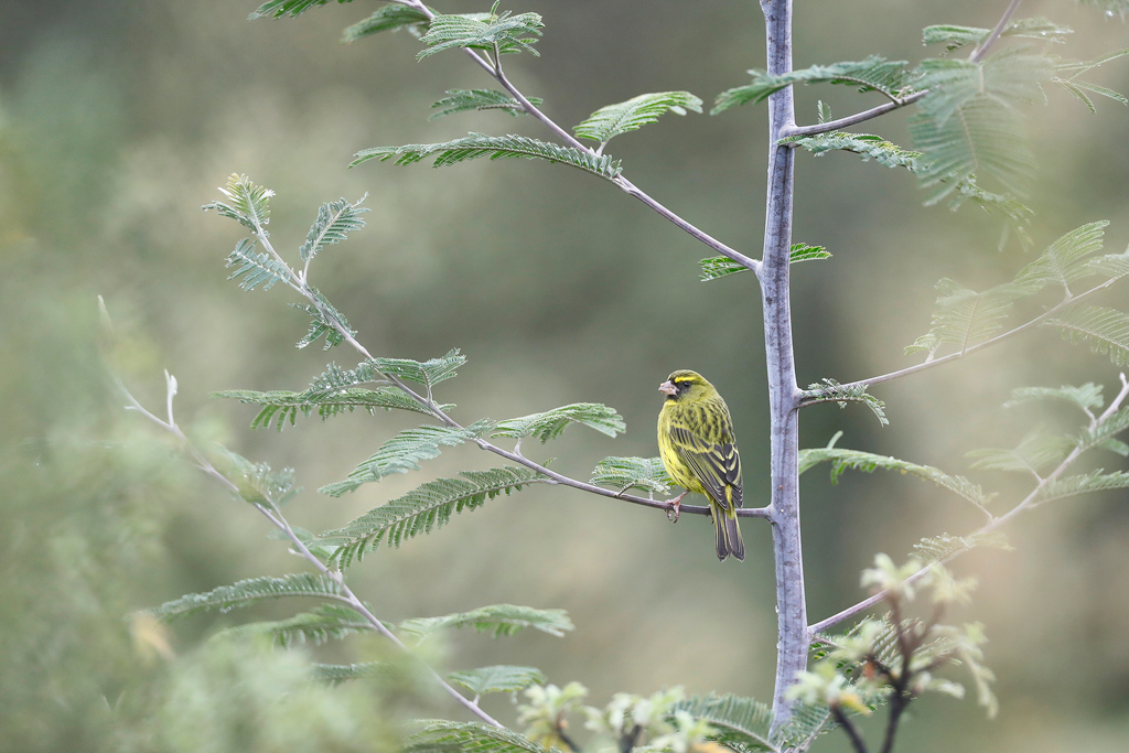 Forest Canary / Balgowan, KZN, South Africa / October2020
